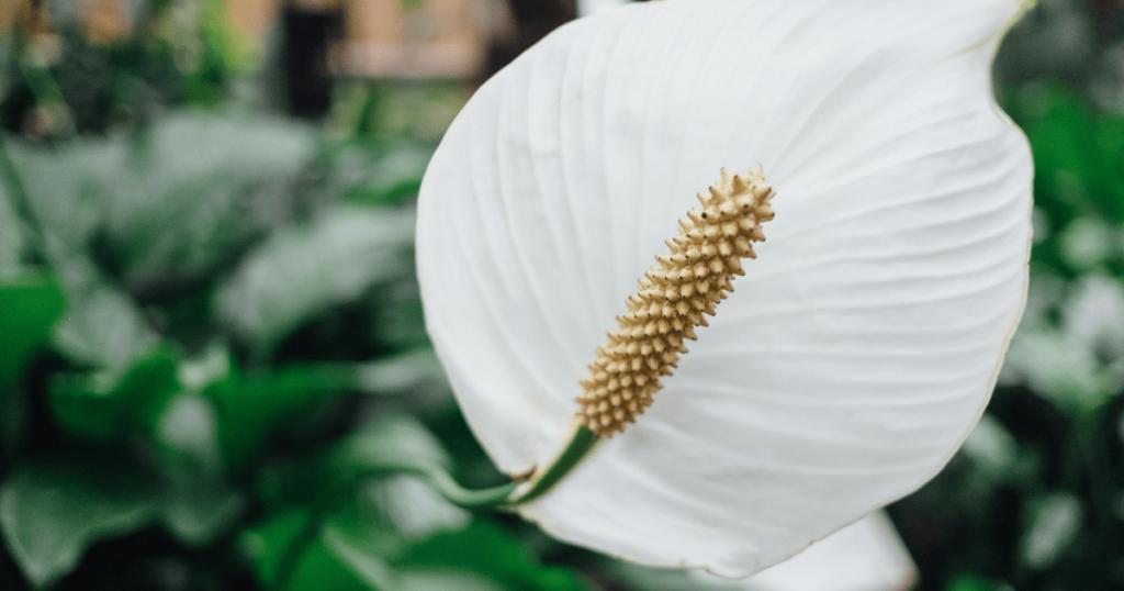 laceleaf flower